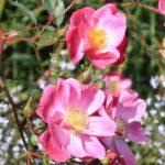 Herbst: Vorfreude auf romantische Rosen