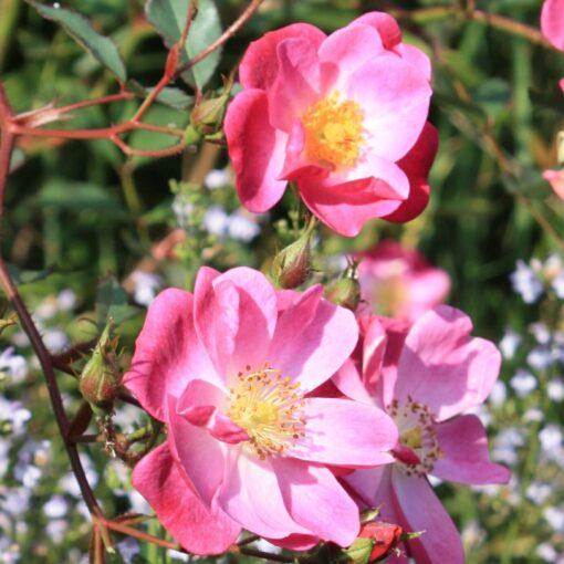 10 28 Rose 3 Fredi Zollinger