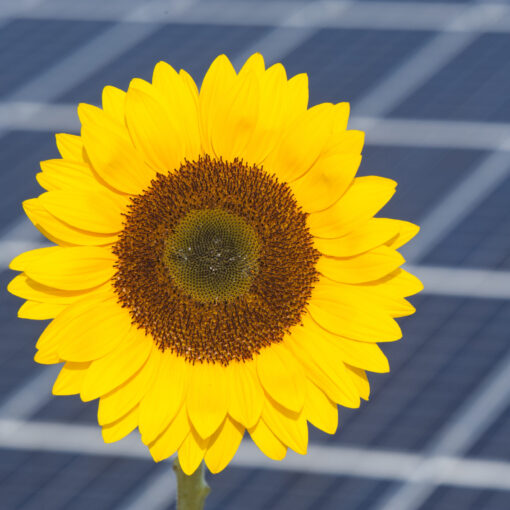 Sunflower And Solar Panel Of Electric Power Station As Symbol For Renewable Energy